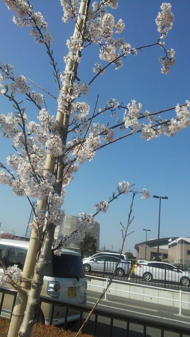 石川桜.jpg